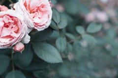 Le rose rosa fioriscono in un giardino con fondo offuscante verde naturale Rappresenta Rosa romanzesca per amare come biglietto d immagine stock libera da diritti