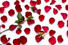 Le rose rosse appassiscono Fotografia Stock