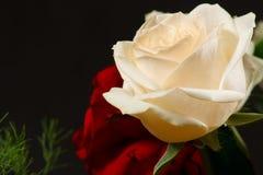 Le rose rosse e cremose Fotografie Stock