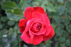 Le rose rosse si chiudono su fotografia stock