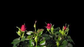 Le rose rosse si sviluppano, fioriscono e muoiono, al rallentatore con l'alfa archivi video