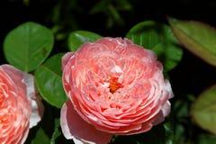 Le rose s'est levé dans un jardin Images stock