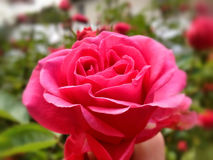 Le rose sauvage suscitent Photo libre de droits