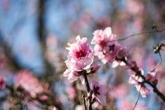 le rose se développe des fleurs de pêche sur le ciel Photographie stock