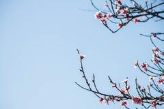 le rose se développe des fleurs de pêche sur le ciel Photos stock