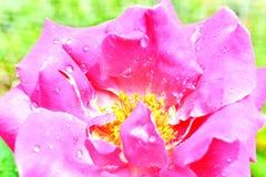 Le rose simple a monté photo stock