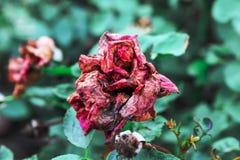 Le rose sono dadi tirati rossi immagine stock