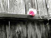 Le rose sono dentellare Immagine Stock