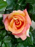 Le rose sono i fiori più bei fotografie stock libere da diritti