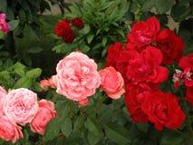 Le rose sono rosse fotografie stock libere da diritti