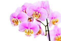 Le rose a strié la fleur d'orchidée, d'isolement Photos stock