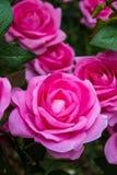 Le rose variopinte artificiali immagine stock libera da diritti
