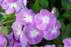 Le rosea de Vinca fleurit la fleur dans le jardin image libre de droits