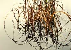 Le roseau courbe A Photo libre de droits
