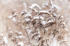 Le roseau côtier sec s'est recroquevillé avec la neige Images libres de droits