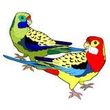 Le roseella exotique de perroquet de tropiques Illustration de vecteur Photos stock