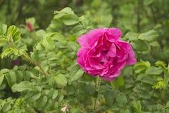 Le rosier sauvage Image libre de droits