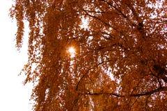 Le rotture del sole attraverso il fogliame della betulla Fotografia Stock