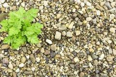 Le rotture dell'erba attraverso le pietre Struttura della priorità bassa Fotografia Stock Libera da Diritti