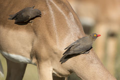 Le rouge a affiché Oxpecker (erythrorhynchus de Buphagus) sur l'impala Photo stock