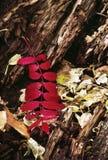 Le rouge brillamment coloré de chute part contre l'écorce d'arbre Images libres de droits