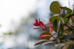 Le rouge a coloré des feuilles sur un buisson pendant l'automne Image stock