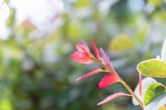 Le rouge a coloré des feuilles sur un buisson pendant l'automne Image libre de droits