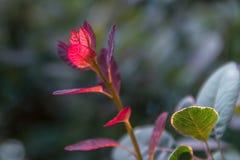 Le rouge a coloré des feuilles sur un buisson pendant l'automne Photographie stock