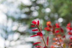 Le rouge a coloré des feuilles sur un buisson pendant l'automne Photos stock