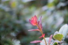 Le rouge a coloré des feuilles sur un buisson pendant l'automne Photos libres de droits