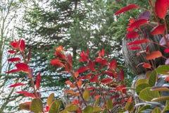 Le rouge a coloré des feuilles sur un buisson pendant l'automne Photo stock