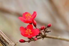 Le rouge a coloré la pomme sauvage, l'usine ornementale une de crabapple de ces derniers pour un bruit somptueux des fleurs blanc Photographie stock