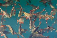 Le rouge a coupé la queue la bavure de feuille d'étain dans l'eau verte claire au barrage de Ratchaprapha Photo stock