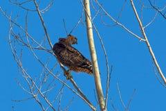 Le rouge a coupé la queue le faucon été perché dans un arbre Photographie stock