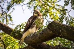 Le rouge a coupé la queue le faucon été perché sur une branche photo stock