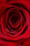 Le rouge couvert de rosée a monté images stock