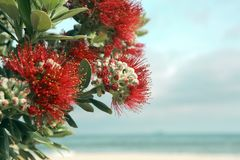 Le rouge d'arbre de Pohutukawa fleurit la plage sablonneuse image libre de droits