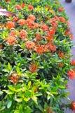 Le rouge de transitoire de fleur images stock