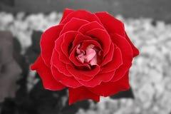 Le rouge et le blanc ont monté Photographie stock