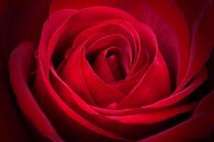 Le rouge fantastique a monté Images libres de droits