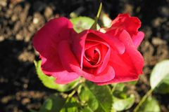 Le rouge fleuri belle par moitié a monté dans le jardin photo libre de droits
