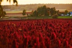 Le rouge fleurit l'amaranthe Image libre de droits