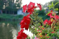 Le rouge fleurit près de la rivière Photo stock