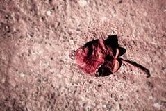 Le rouge foncé solitaire image libre de droits