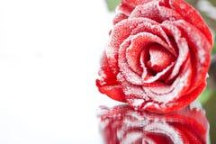 Le rouge gelé a monté dans le gel blanc se trouvant sur le miroir Photo stock