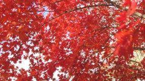 Le rouge laisse l'arbre Images libres de droits