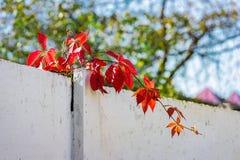 Le rouge laisse le bokeh de fond brouillé par barrière sauvage de raisins Image stock