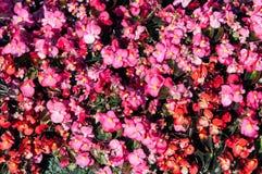 Le rouge lumineux fleurit des semperflorens de bégonia dans le jardin photo stock