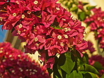 Le rouge lumineux fleurit l'arbuste Photos stock