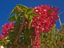 Le rouge lumineux fleurit l'arbuste Image stock